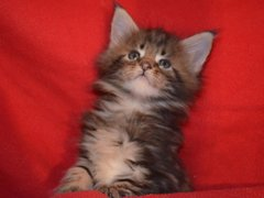 Pisici Maine Coon
